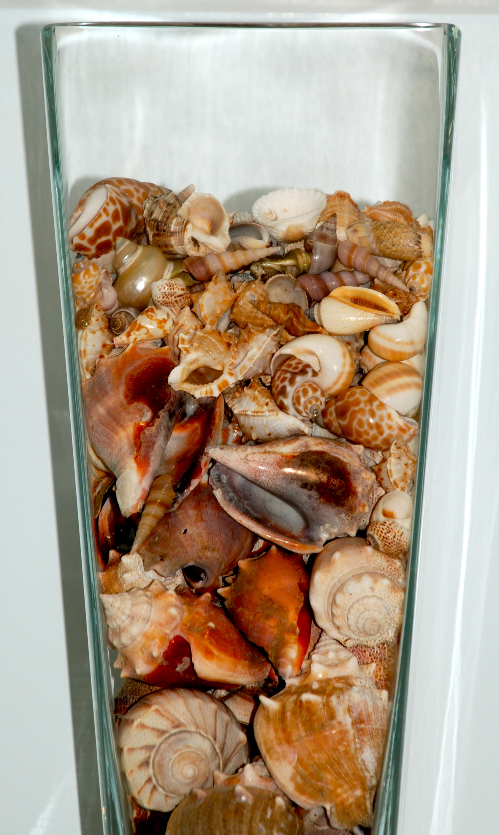 how to clean live seashells